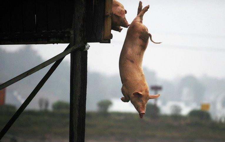Спортивная китайская свинья